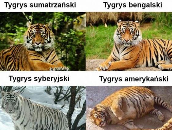Rodzaje tygrysów xD