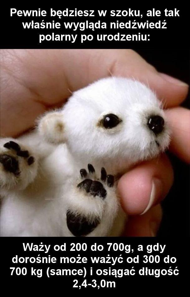 Niedźwiadek polarny po urodzeniu