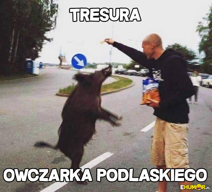 Tresura Owczarka Podlaskiego