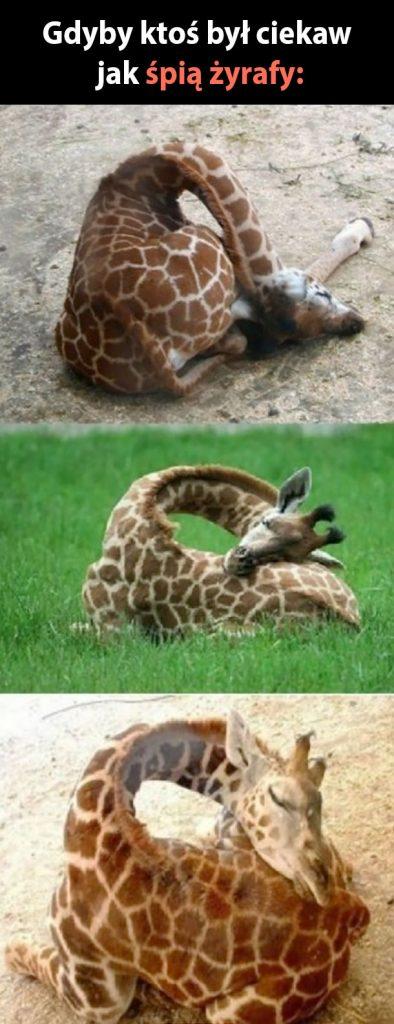 Tak wygląda żyrafa podczas snu