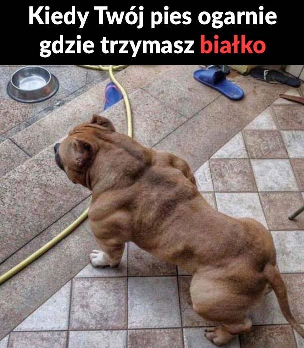 Pies na białku